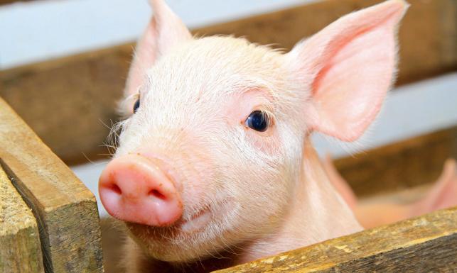 Polska szykuje się na afrykański pomór świń