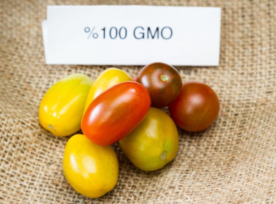 Pomidorki GMO