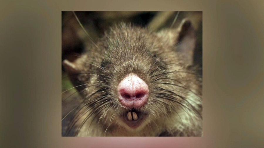 Odkryto nowy gatunek szczura - ze świńskim nosem