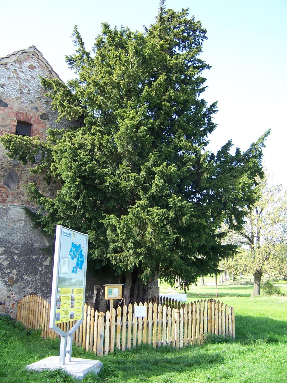 Cis henrykowski, najstarsze drzewo w Polsce