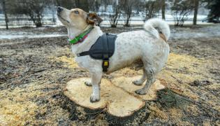 Pies i wycięte drzewo
